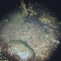 taimenet levittäytyy ylöspäin purolla.Falkullasta löydetty kolme kutukuoppaa.