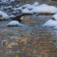 koskikara-whitethroateddipper-birdlifefinland-naturephotography-naturephoto-birdphotography-malmi-lo