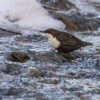 koskikara-whitethroateddipper-canoneos7dmark2-birdphotography-helsinki-finland-naturephoto-tringa-ma