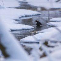 koskikara-whitethroateddipper-helsinki-finland-winter-birdlifefinland-birdlife-canoneos7dmark2-natur