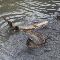 Trouts salmo trutta are fighting over breeding ground in Helsinki .