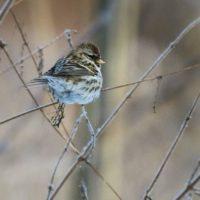 urpiainen-redpoll-birdlife-tringa-birdphotography-naturephoto-naturephotography-canoneos7dmark2-malm