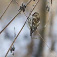 urpiainen-redpoll-finland-longinoja-malmi-canoneos7dmark2-naturephotography-naturephoto-tringa-birdl