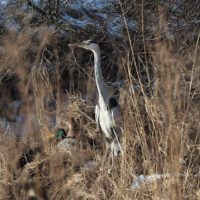 Finally I found a grey heron in Longinoja, Helsinki