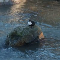White-throated dipper in Longinoja,