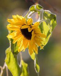 auringonkukka-sunflower-longinoja-suomenluonto-luontokuva-autumn-syksy-fall-helsinki-nature-natureph