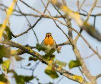 punarinta-robin-tringa-birds-suomenluonto-luontokuva-autumn-syksy-fall-helsinki-birdlifefinland-bird-1