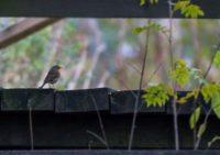 punarinta-robin-tringa-birds-suomenluonto-luontokuva-autumn-syksy-fall-helsinki-birdlifefinland-bird