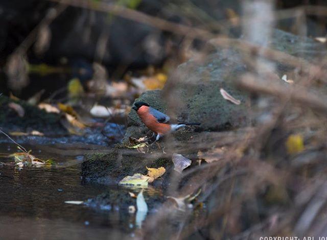 punatulkku-longinoja-eurasianbullfinch-bullfinch-tringa-birds-suomenluonto-luontokuva-autumn-syksy-f