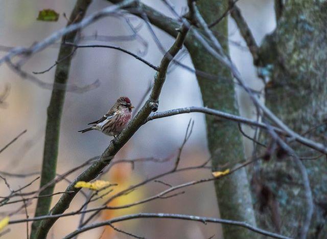 urpiainen-redpoll-commonredpoll-birds-suomenluonto-luontokuva-autumn-syksy-fall-helsinki-birdlifefin-1