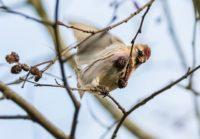 urpiainen-redpoll-commonredpoll-birds-suomenluonto-luontokuva-autumn-syksy-fall-helsinki-birdlifefin