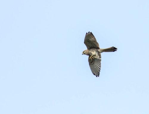 Tuulihaukka (Falco tinnunculus)
