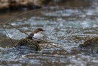 koskikara-whitethroateddipper-luontokuva-longinoja-winter-talvi-helsinki-birdlifefinland-birdlife-bi-1