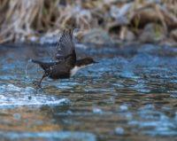 koskikara-whitethroateddipper-luontokuva-longinoja-winter-talvi-helsinki-birdlifefinland-birdlife-bi-3