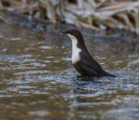 koskikara-whitethroateddipper-luontokuva-longinoja-winter-talvi-helsinki-birdlifefinland-birdlife-bi-4