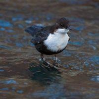 koskikara-whitethroateddipper-luontokuva-longinoja-winter-talvi-helsinki-birdlifefinland-birdlife-bi-5
