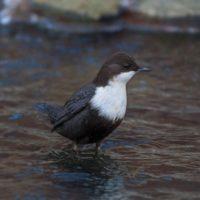 koskikara-whitethroateddipper-luontokuva-longinoja-winter-talvi-helsinki-birdlifefinland-birdlife-bi-6