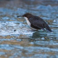 koskikara-whitethroateddipper-luontokuva-longinoja-winter-talvi-helsinki-birdlifefinland-birdlife-bi-7
