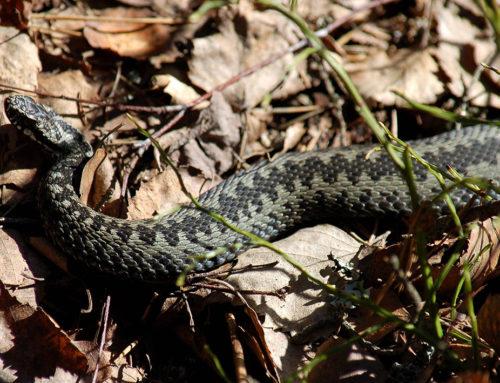 Kyy eli kyykäärme (Vipera berus)