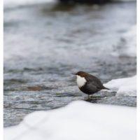 koskikara-whitethroateddipper-luontokuva-winter-talvi-helsinki-birdlifefinland-birdlife-birdphotogra-1