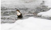 koskikara-whitethroateddipper-luontokuva-winter-talvi-helsinki-birdlifefinland-birdlife-birdphotogra-2