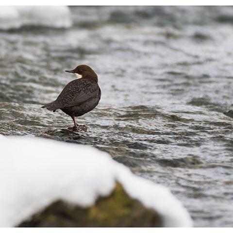 koskikara-whitethroateddipper-luontokuva-winter-talvi-helsinki-birdlifefinland-birdlife-birdphotogra-3