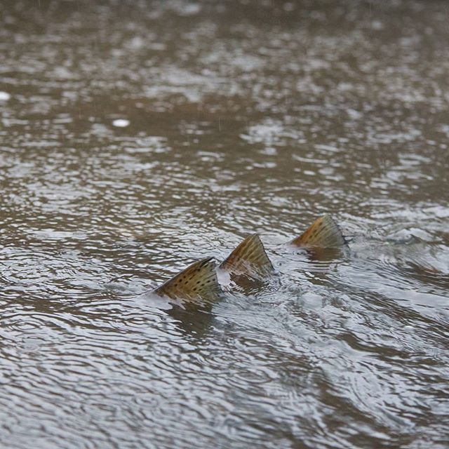 Threesome in the #rain. #trouts. with #camera.