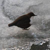 koskikara-talvehtija-longinoja-lintubongari