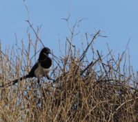 A magpie build its nest