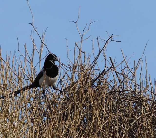 A magpie build its nest