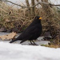 Blackbird on an ice
