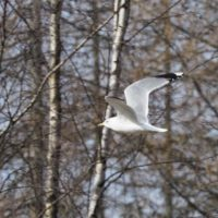 Common gulls have arrived this spring