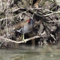 A moorhen looking cautiously around