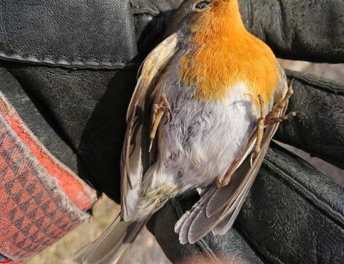 Kevät on syntymän ja kuoleman aikaa. Ikkuna koitui tämän punarinnan kohtaloksi. R.I.P. # punarinta # lintu