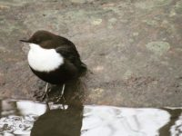 koskikara-bird-nature-luonto-luontokuva-lintukuva-helsinki-finland-longinojakevat-longinoja-stromsta