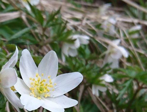 rakeita taivaalta valkoista tähtisadetta maanpinnalla. # valkovuokko # kevät # kukka