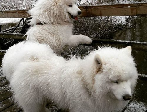 Polarbears at Longinoja creek . Yes, it is snowing in Helsinki and it is almost May . But we love it!!!  – Taavi & Paavo
