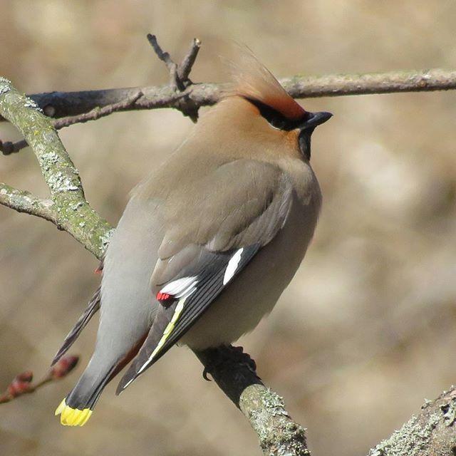 tilhi-sidensvans-bohemianwaxwing-bombycillagarrulus-longinojakevat-longinoja-luonto-lintukuva-luonto
