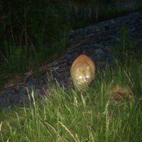 iltakavely-kissa-rescuekissa-longinojakevat-longinoja-tapanila-fallkulla