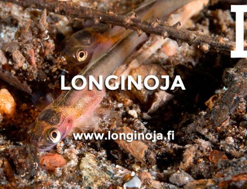 Longinojaan syntynyt uusi taimen ikäluokka!