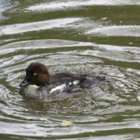 telkka-knipa-goldeneye-bucephalaclangula-suomenlinnut-lintukuva-lintu-linnut-bird-birds-birdlife-suo
