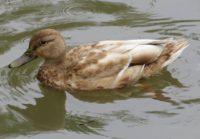 sinisorsa-grasand-mallard-anasplatyrhynchos-leukistinensinisorsa-suomenlinnut-lintukuva-lintu-bird-b