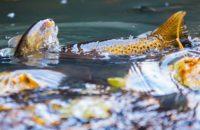 fishingwithcamera-fishphoto-taimen-meritaimen-trout-browntrout-seatrout-longinoja-vantaanjoki-river-1-1