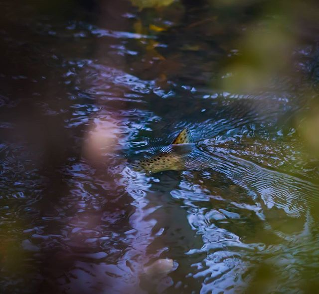 It's the time for trouts' spawning 🤗 - kutukausi on käynnissä!  • • • • • #