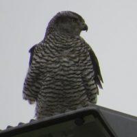kanahaukka-duvhok-goshawk-accipitergentilis-suomenlinnut-lintu-lintukuva-bird-birdlife-birdlifesuomi