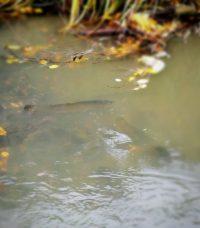 longinoja-helsinki-taimenpuro-longinojasyksy-taimen-vaelluskala
