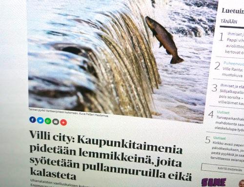Kirkko ja kaupunki: Villi city: Kaupunkitaimenia pidetään lemmikkeinä, joita syötetään pullanmuruilla eikä kalasteta