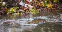 taimen-meritaimen-trout-browntrout-seatrout-longinoja-vantaanjoki-river-helsinki-finland-visitfinlan
