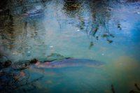helsinki-longinoja-longinojasyksy-lainsuojattomat-vaelluskala-taimen-kuteminenkuuluukaikille-seatrou