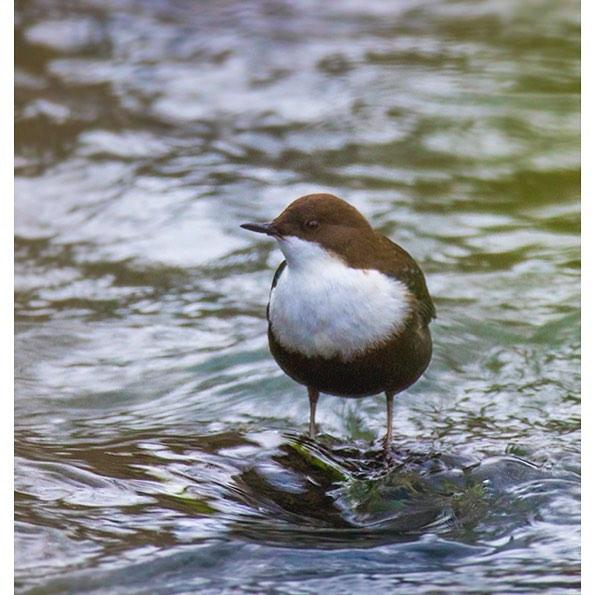 koskikara-whitethroateddipper-vesipappi-longinoja-helsinki-winter-talvi-birdlifefinland-birdlife-bir-1